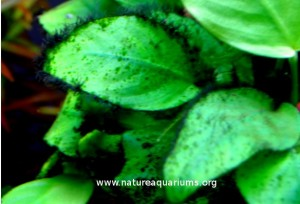 11 Ways To Control Algae Nature Aquariums