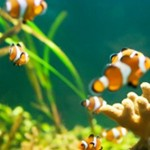 Breeding Clownfish Successfully