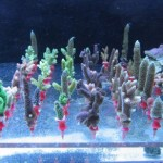 Importance of Coral Fragging