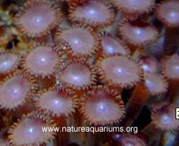 Zoanthid Picture